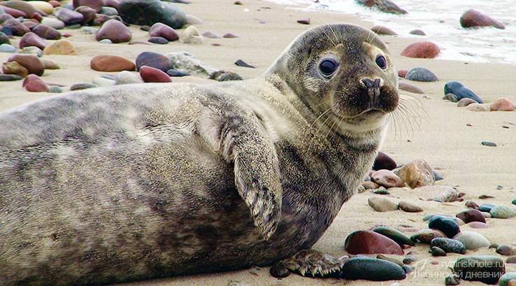 Тюлененок на берегу