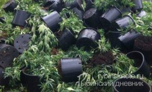 конопля в Рыбинском районе